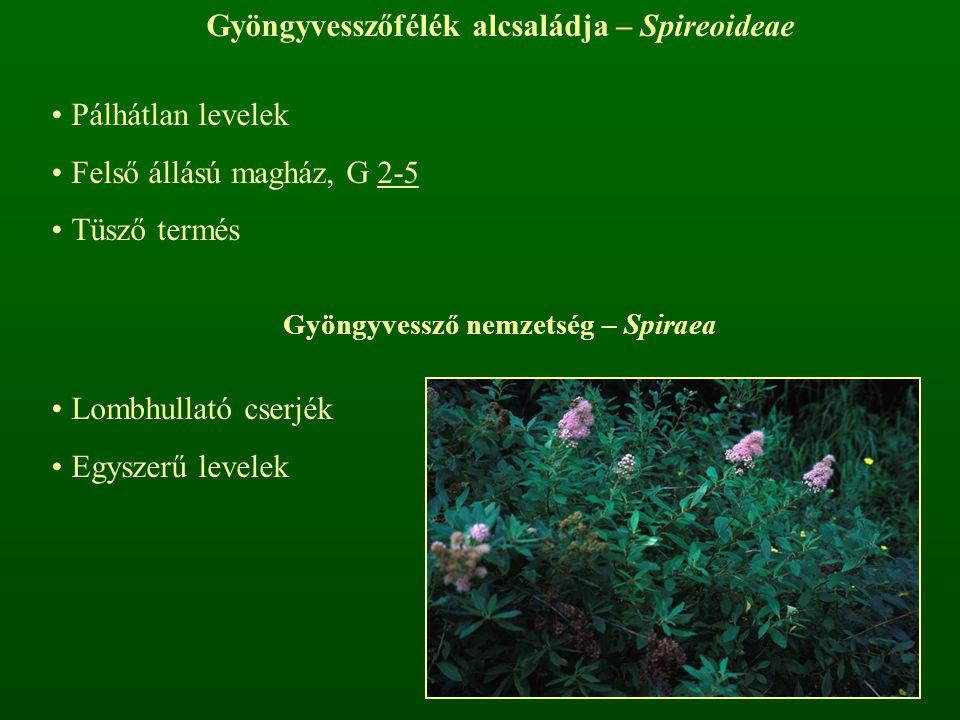 Gyöngyvesszőfélék alcsaládja – Spireoideae