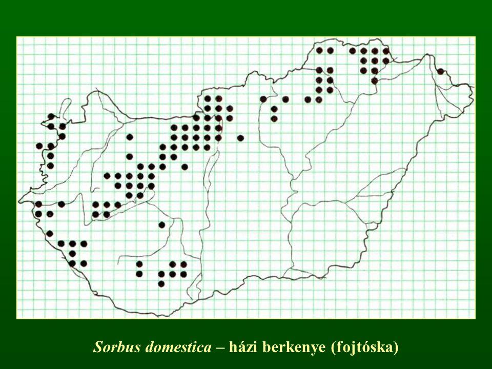 Sorbus domestica – házi berkenye (fojtóska)