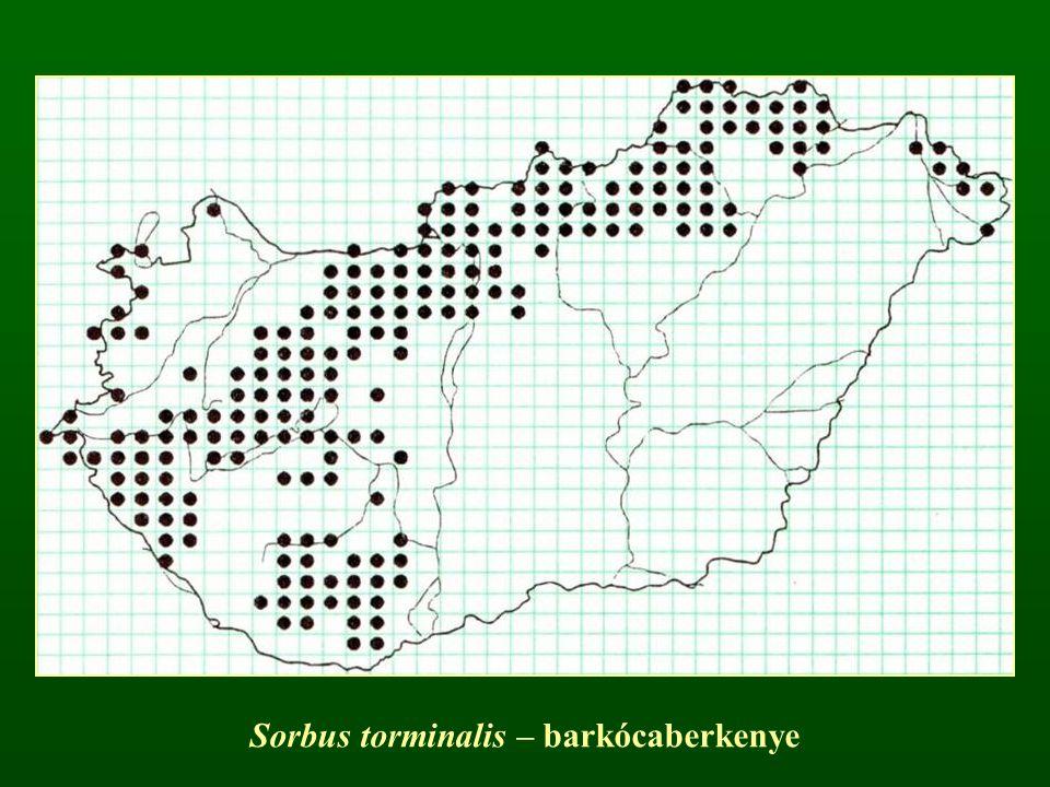 Sorbus torminalis – barkócaberkenye