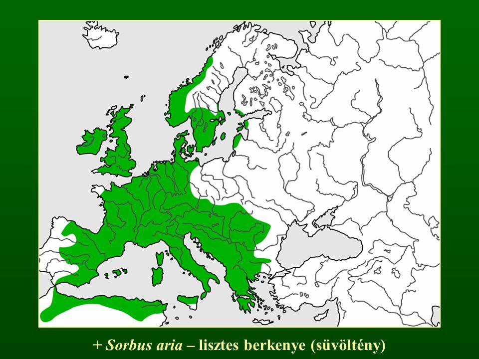 + Sorbus aria – lisztes berkenye (süvöltény)
