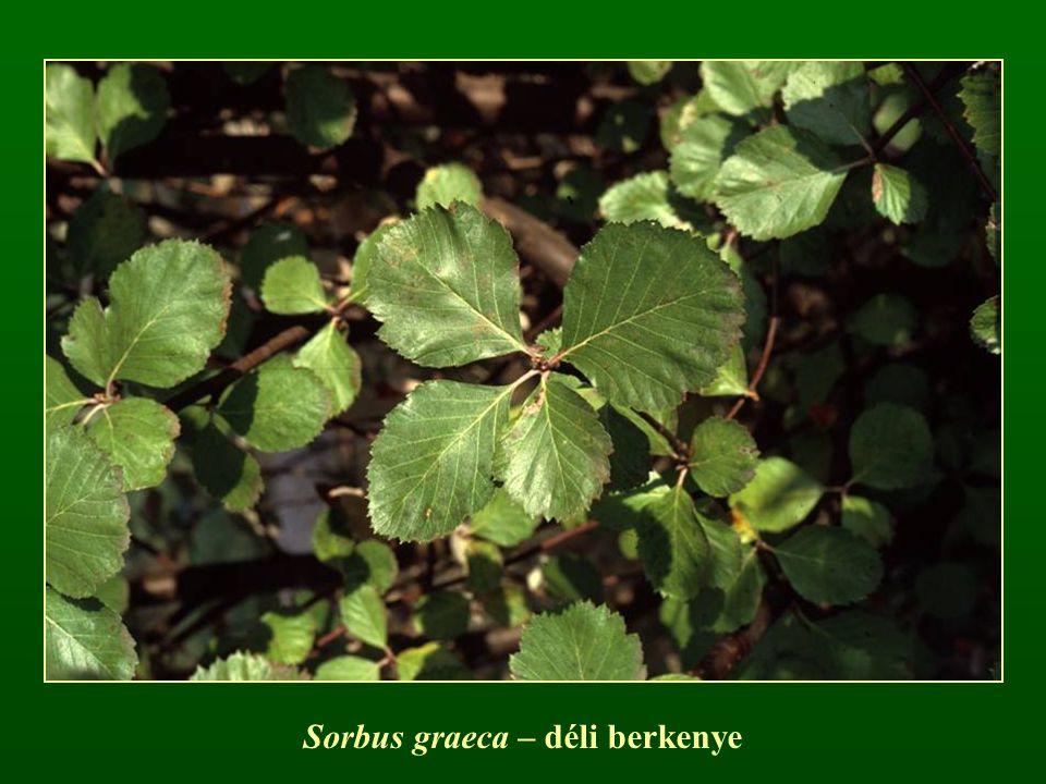 Sorbus graeca – déli berkenye