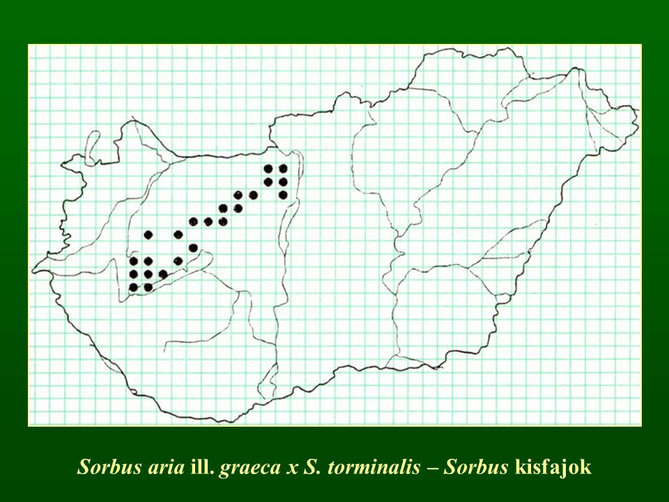 Sorbus aria ill. graeca x S. torminalis – Sorbus kisfajok