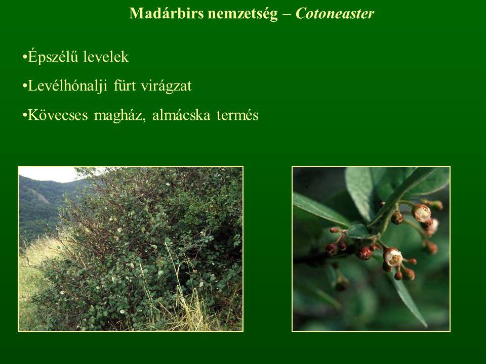 Madárbirs nemzetség – Cotoneaster