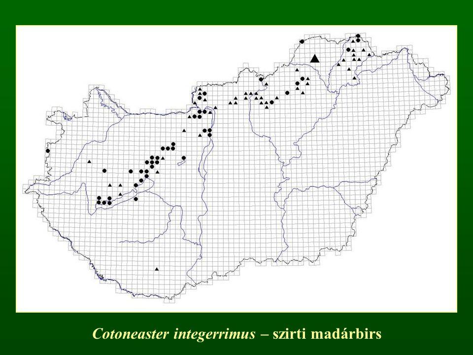 Cotoneaster integerrimus – szirti madárbirs