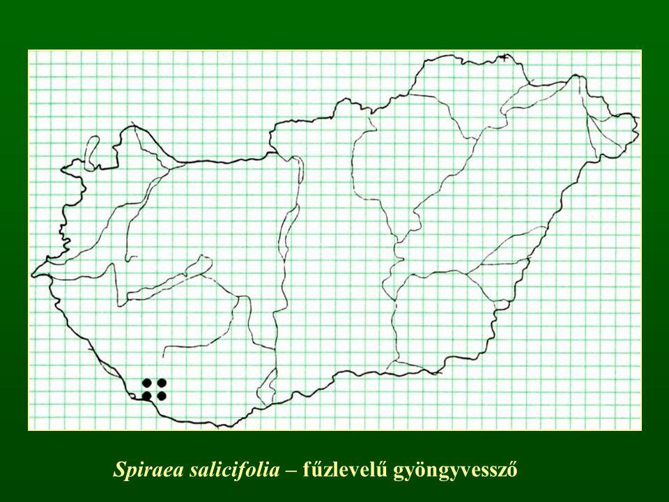 Spiraea salicifolia – fűzlevelű gyöngyvessző