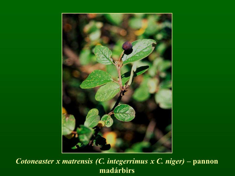 Cotoneaster x matrensis (C. integerrimus x C. niger) – pannon madárbirs