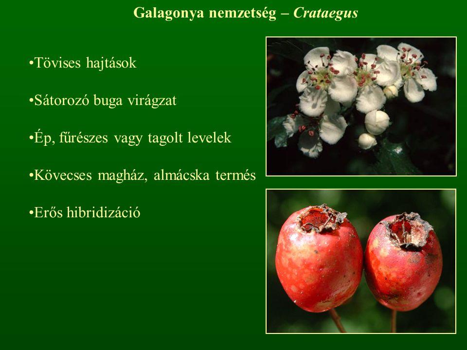 Galagonya nemzetség – Crataegus