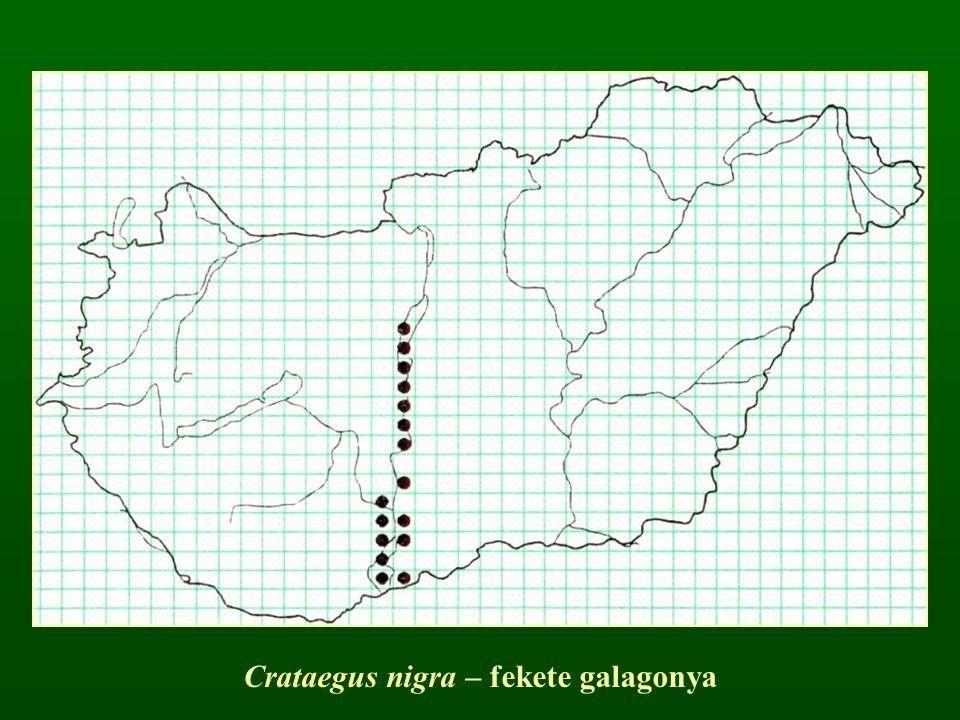 Crataegus nigra – fekete galagonya