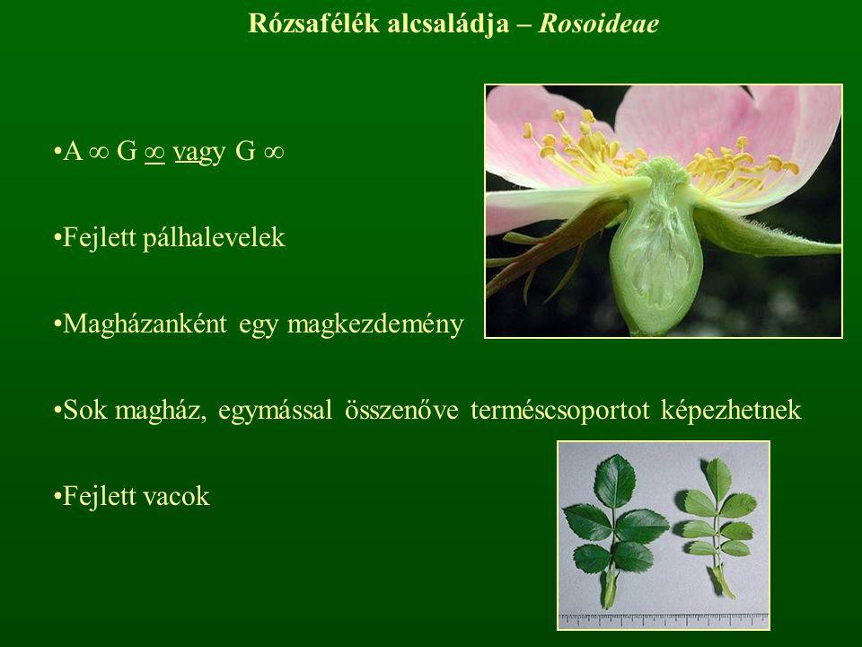 Rózsafélék alcsaládja – Rosoideae
