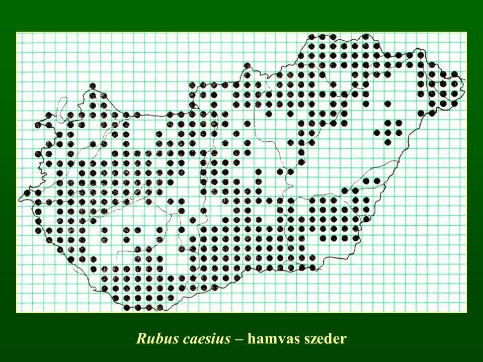 Rubus caesius – hamvas szeder