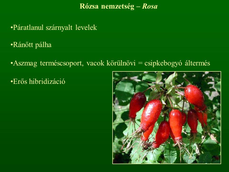 Rózsa nemzetség – Rosa Páratlanul szárnyalt levelek. Ránőtt pálha. Aszmag terméscsoport, vacok körülnövi = csipkebogyó áltermés.