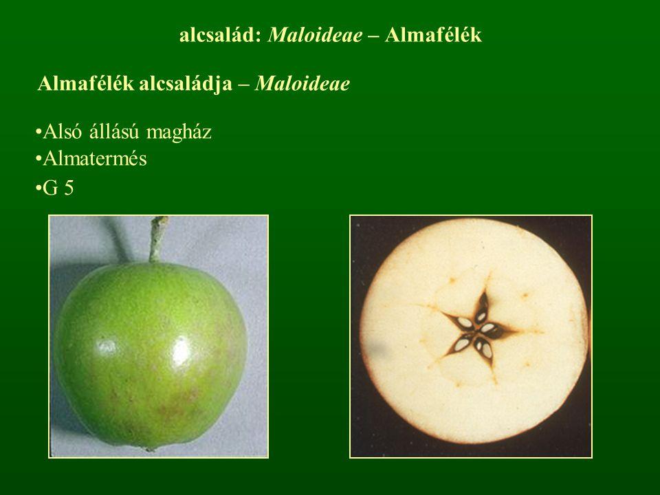 alcsalád: Maloideae – Almafélék Almafélék alcsaládja – Maloideae