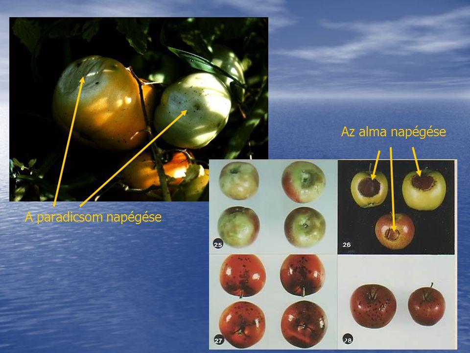 Az alma napégése A paradicsom napégése