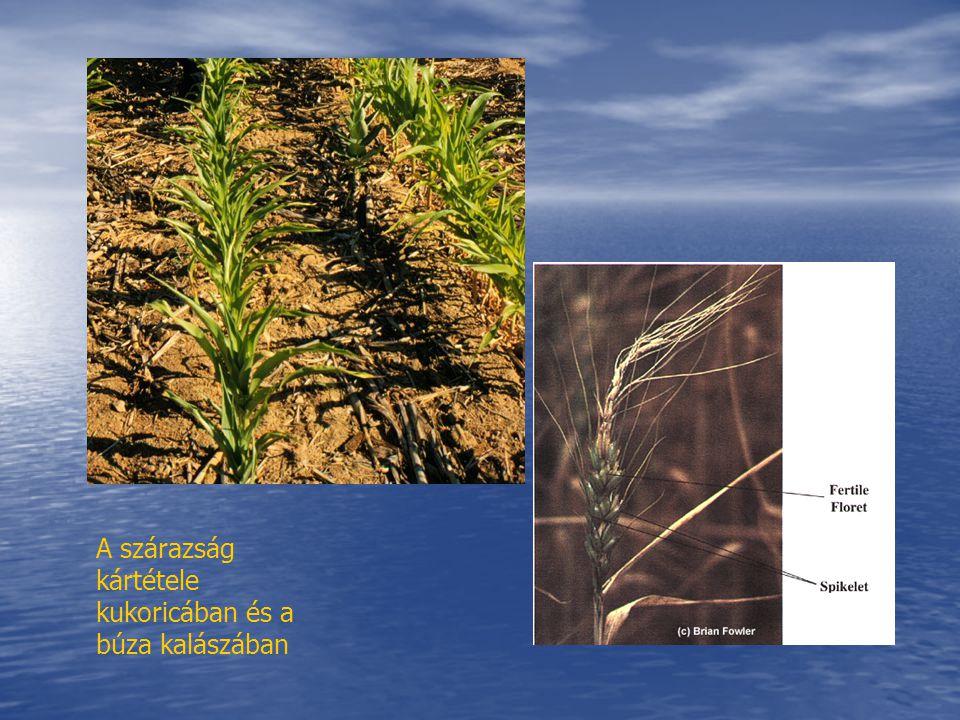 A szárazság kártétele kukoricában és a búza kalászában