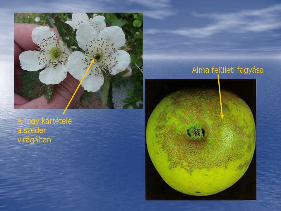 Alma felületi fagyása A fagy kártétele a szeder virágában