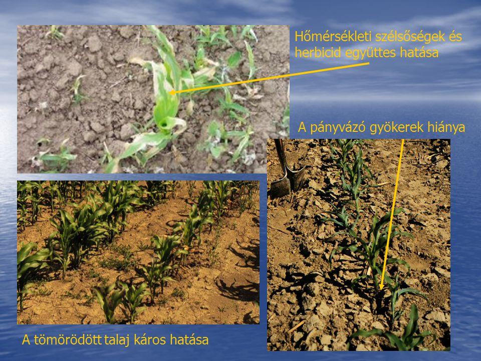 Hőmérsékleti szélsőségek és herbicid együttes hatása