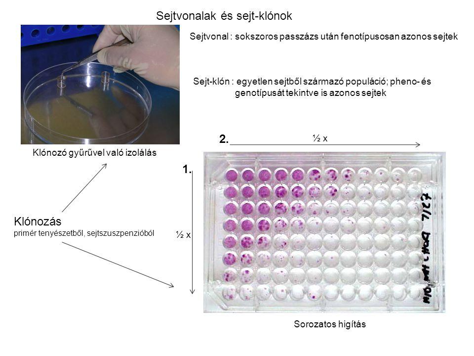 Sejtvonalak és sejt-klónok
