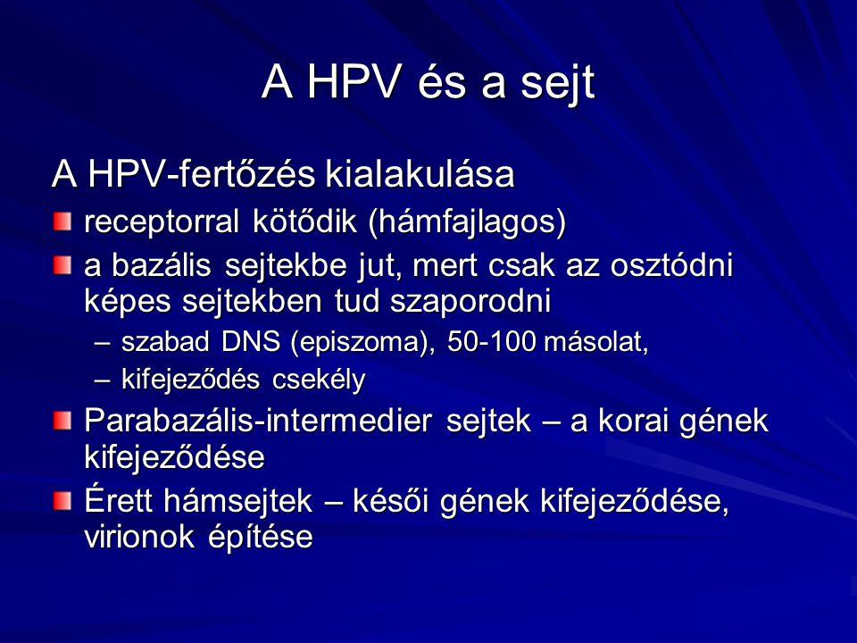 A HPV és a sejt A HPV-fertőzés kialakulása