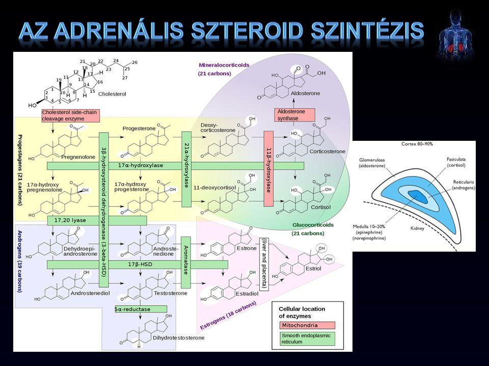 Az adrenális szteroid szintézis
