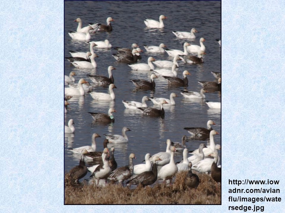 http://www.iowadnr.com/avianflu/images/watersedge.jpg