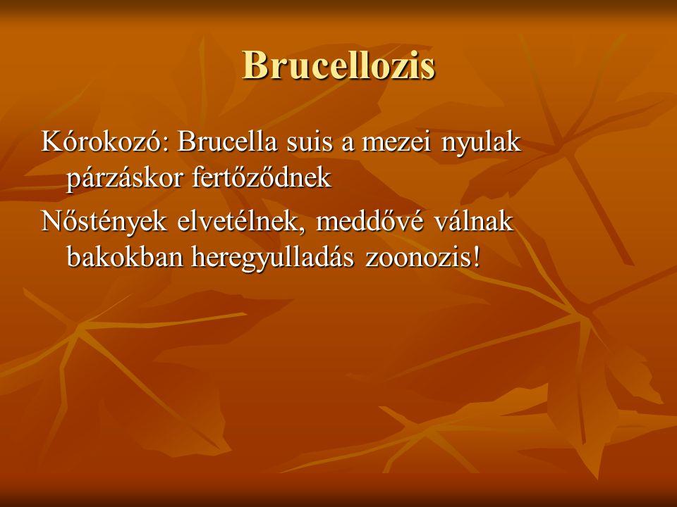 Brucellozis Kórokozó: Brucella suis a mezei nyulak párzáskor fertőződnek.