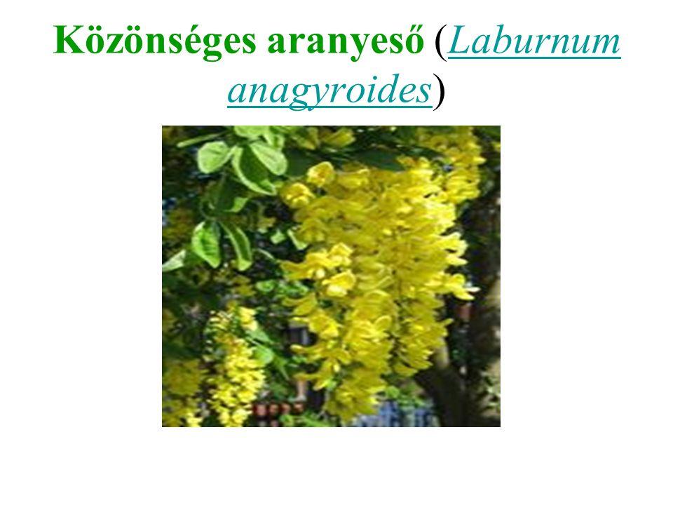 Közönséges aranyeső (Laburnum anagyroides)