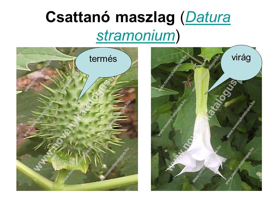 Csattanó maszlag (Datura stramonium)