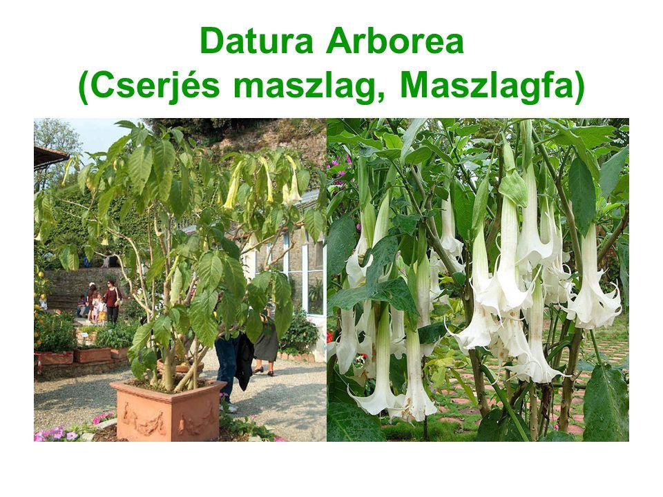 Datura Arborea (Cserjés maszlag, Maszlagfa)