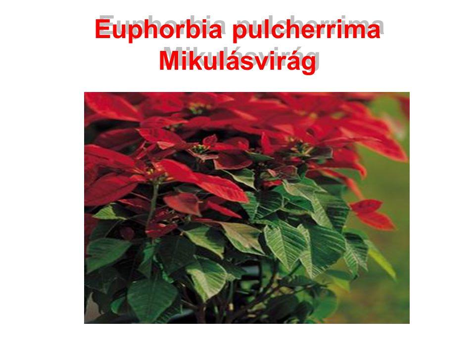 Euphorbia pulcherrima Mikulásvirág