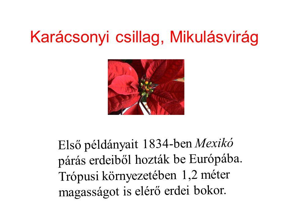 Karácsonyi csillag, Mikulásvirág