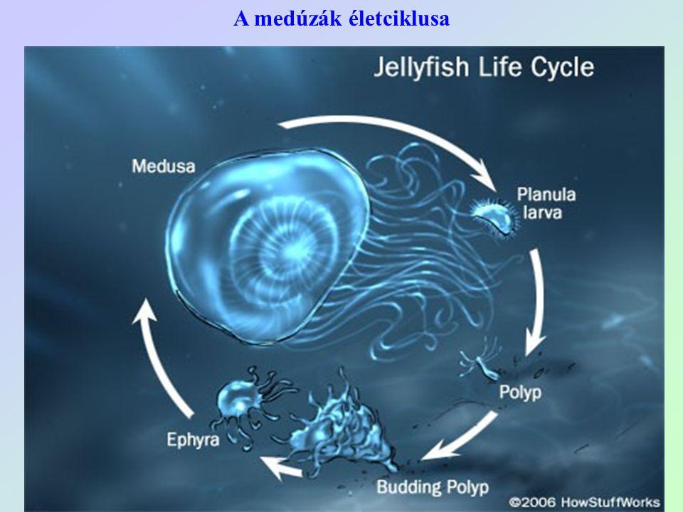 A medúzák életciklusa