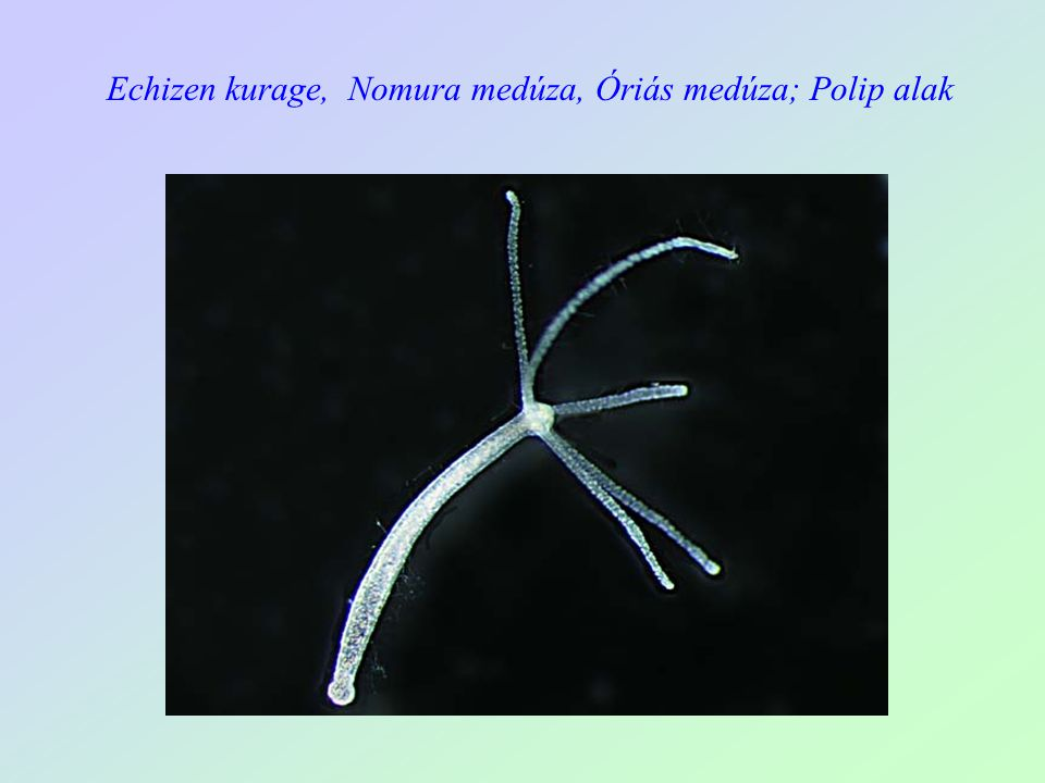 Echizen kurage, Nomura medúza, Óriás medúza; Polip alak