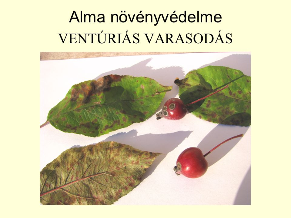 Alma növényvédelme VENTÚRIÁS VARASODÁS