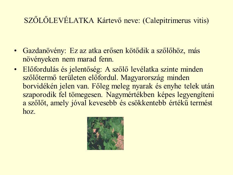 SZŐLŐLEVÉLATKA Kártevő neve: (Calepitrimerus vitis)