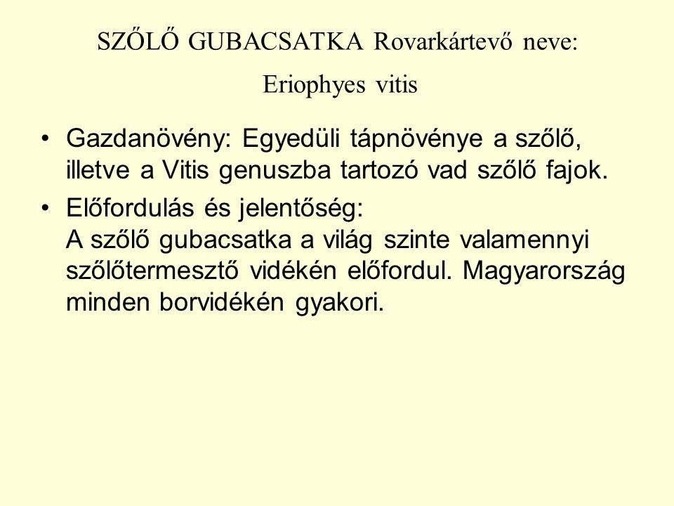 SZŐLŐ GUBACSATKA Rovarkártevő neve: Eriophyes vitis