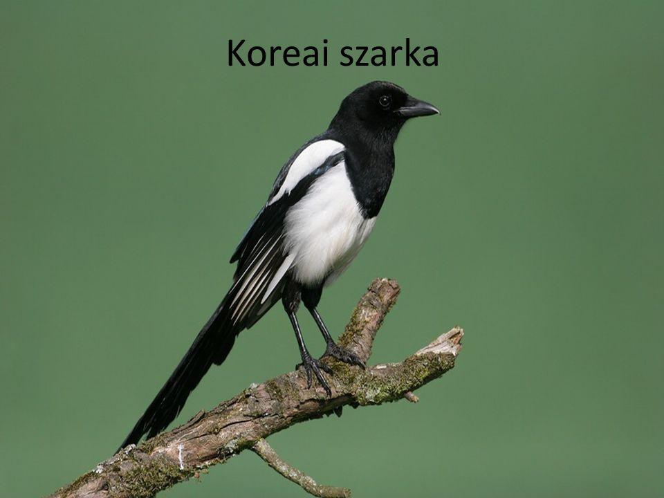 Koreai szarka