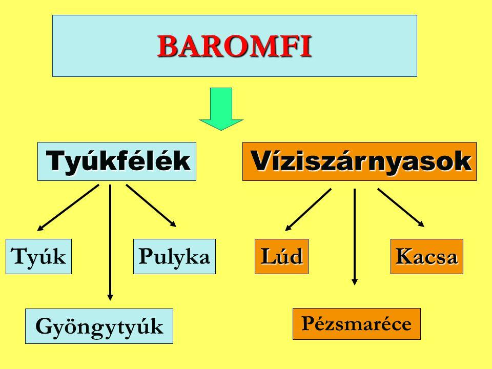 BAROMFI Tyúkfélék Víziszárnyasok Tyúk Pulyka Lúd Kacsa Gyöngytyúk