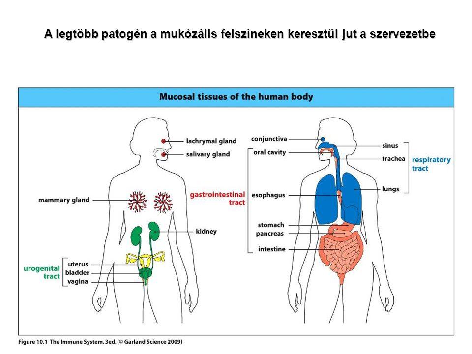 A legtöbb patogén a mukózális felszíneken keresztül jut a szervezetbe