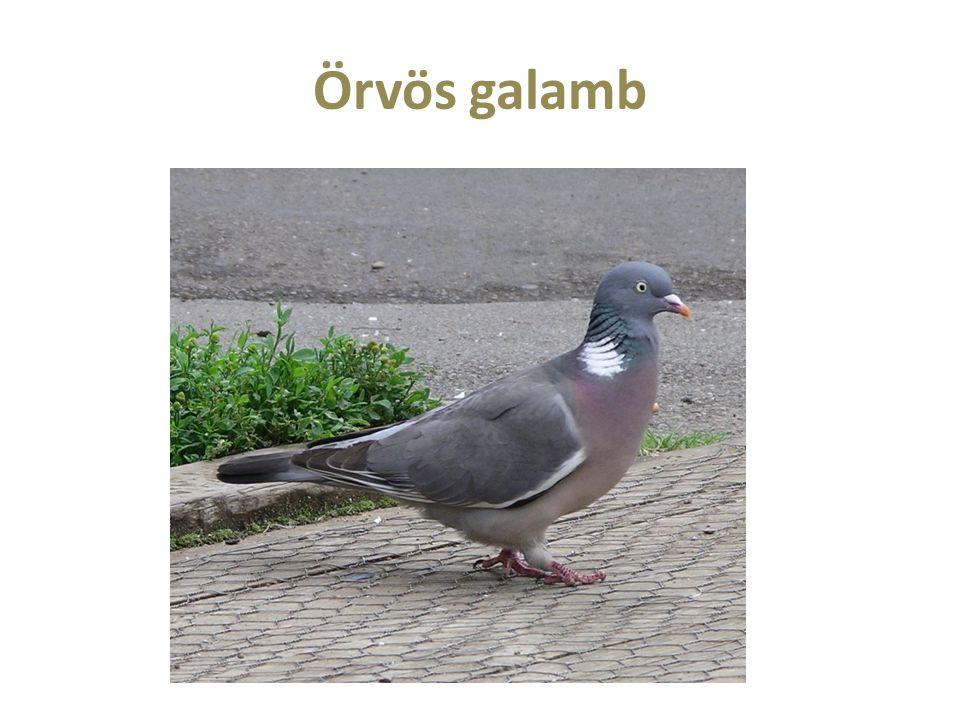 Örvös galamb