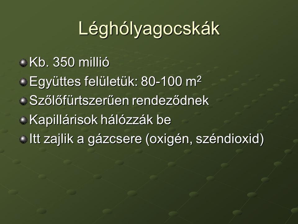 Léghólyagocskák Kb. 350 millió Együttes felületük: 80-100 m2