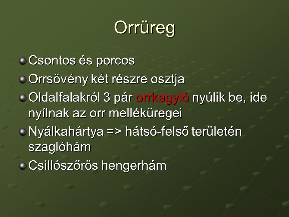 Orrüreg Csontos és porcos Orrsövény két részre osztja