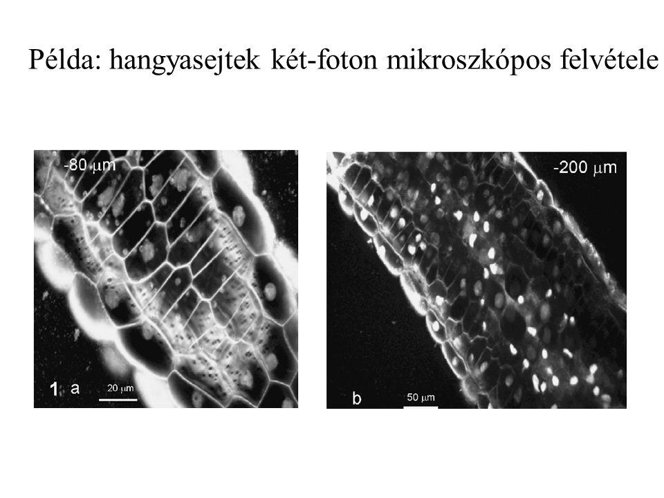 Példa: hangyasejtek két-foton mikroszkópos felvétele