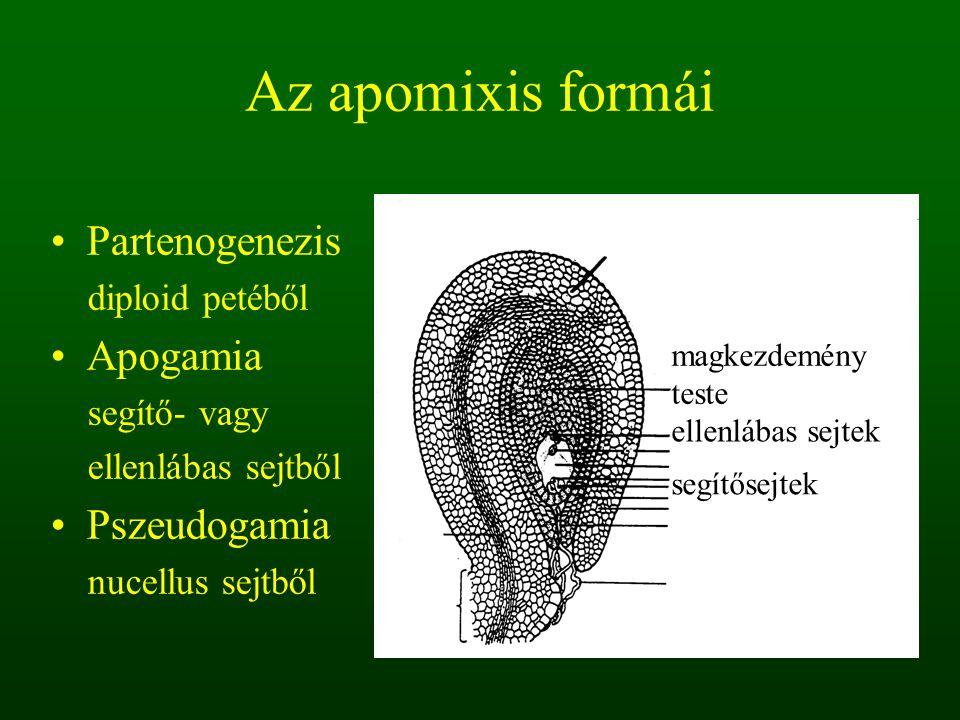 Az apomixis formái Partenogenezis Apogamia Pszeudogamia