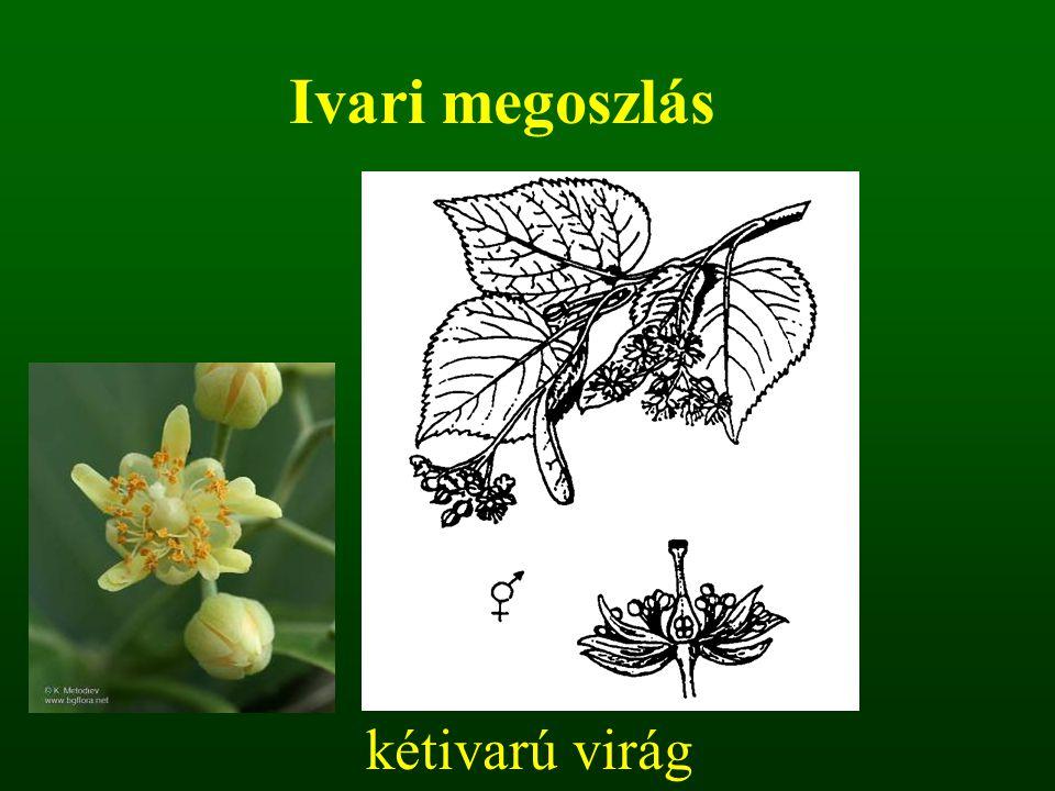 Ivari megoszlás kétivarú virág