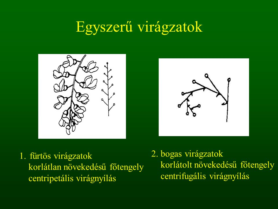 Egyszerű virágzatok 2. bogas virágzatok fürtös virágzatok