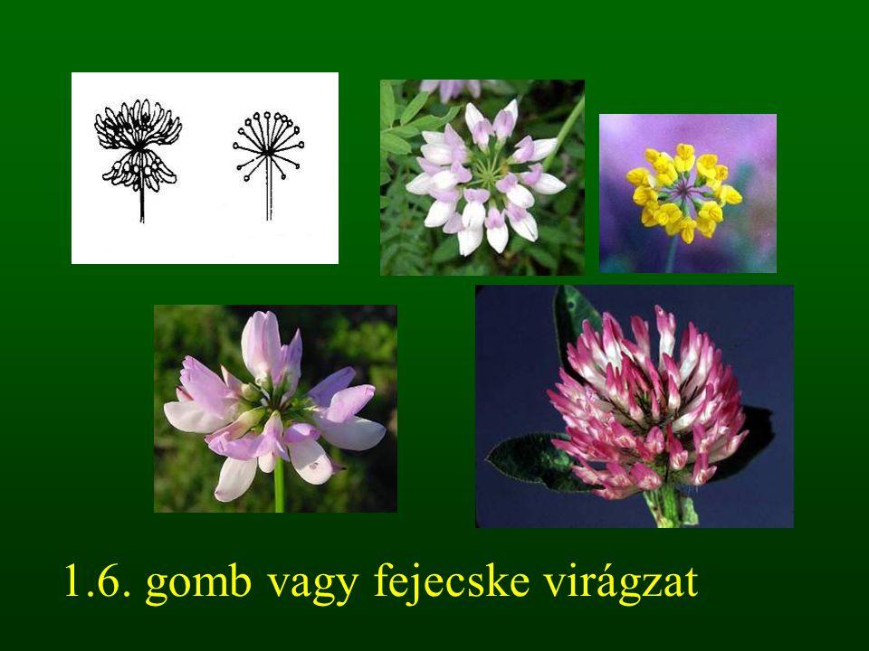 1.6. gomb vagy fejecske virágzat