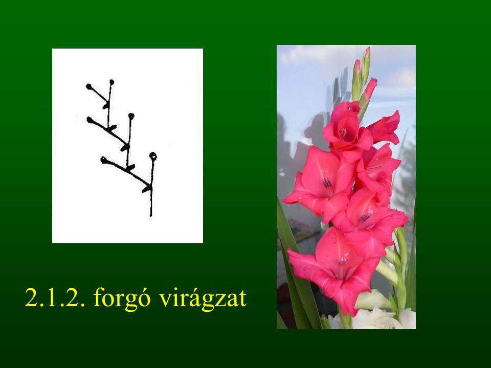 2.1.2. forgó virágzat