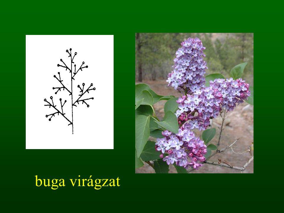 buga virágzat