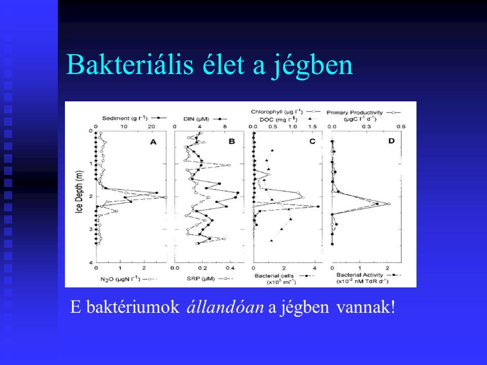 Bakteriális élet a jégben