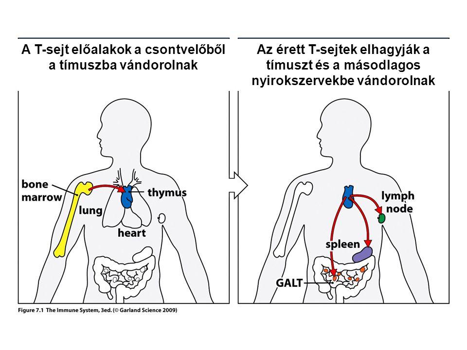 A T-sejt előalakok a csontvelőből a tímuszba vándorolnak